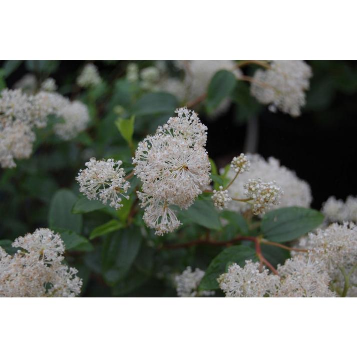 Ceanothus Americanus New Jersey Tea Broken Arrow Nursery