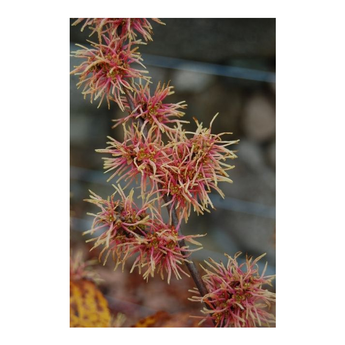 5 MOHONK RED WITCH HAZEL SEEDS Hamamelis virginiana /'Mohonk Red/'