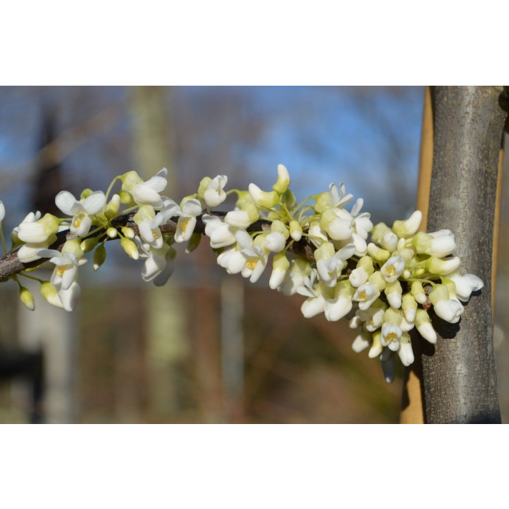Cercis canadensis Kanadischer Hänge Judasbaum Vanilla Twist 40-60cm