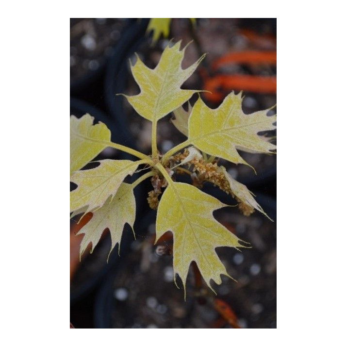 Quercus rubra golden dragon boxers who have taken steroids