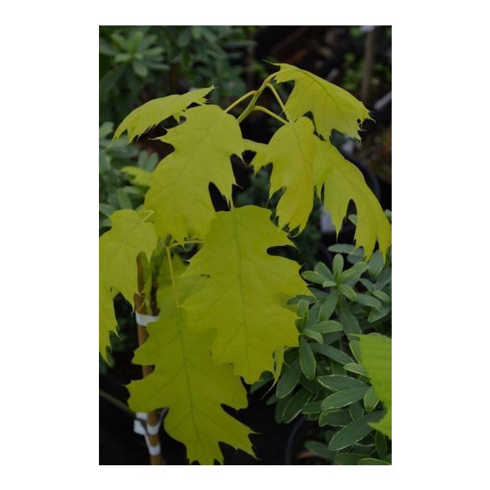 Quercus rubra golden dragon symptoms of coming off steroids