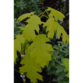 Quercus rubra golden dragon short and long term side effects of anabolic steroids